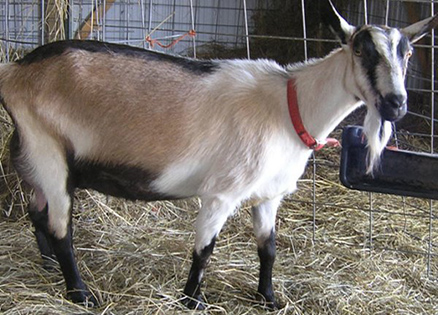 Alpine-Goat-Female